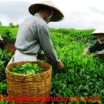 Giá trà thái nguyên hiện nay đang phản ánh điều gì?