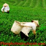 3 lý do nhiều người chọn trà Tân Cương Thái Nguyên